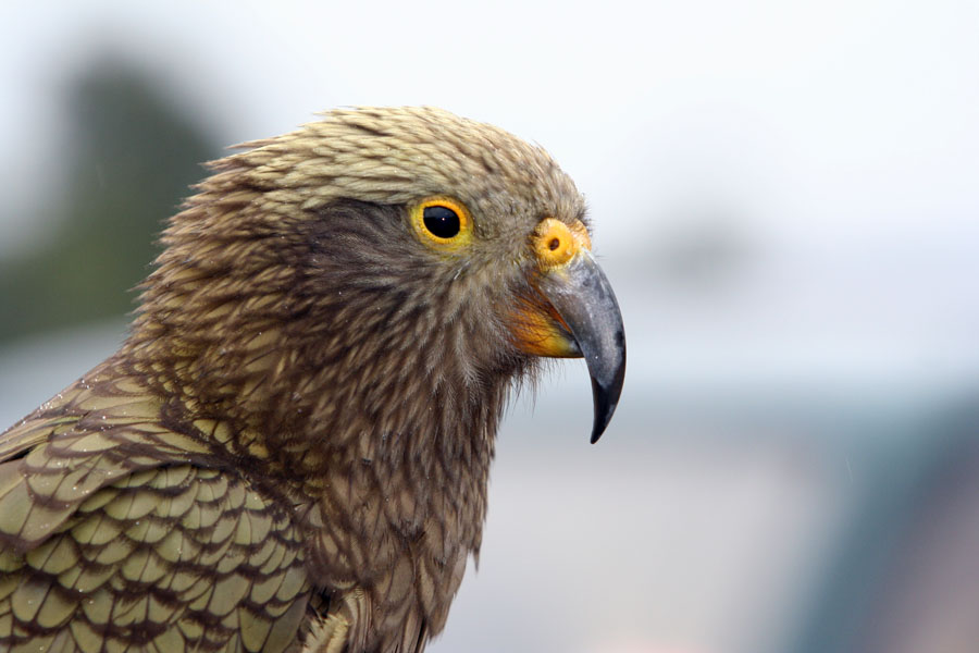 picture of a Kea bird