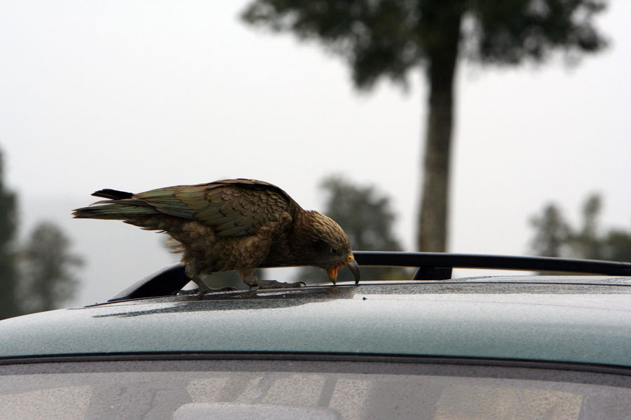picture of a Kea tearing rubber sealing from car